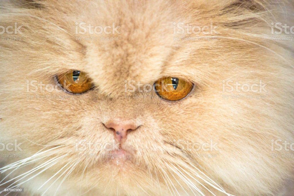 Persian cat portrait close-up, cute Persian cat looking at camera stock photo