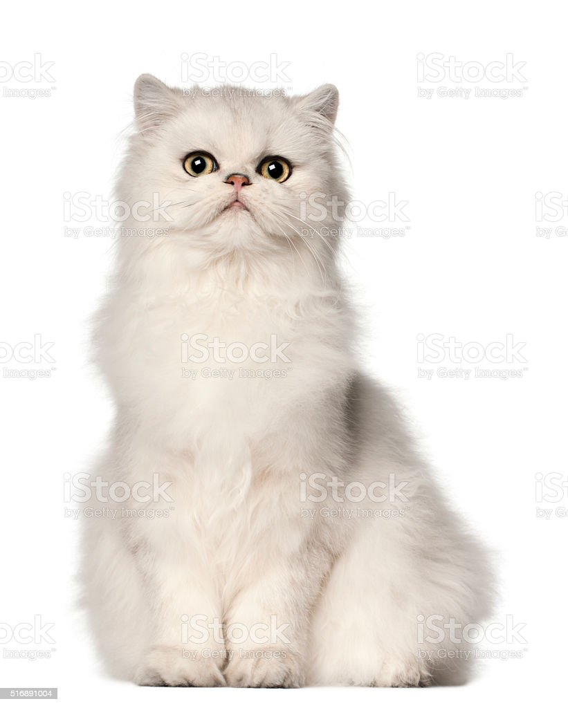 Persian cat, sitting in front of white background stock photo