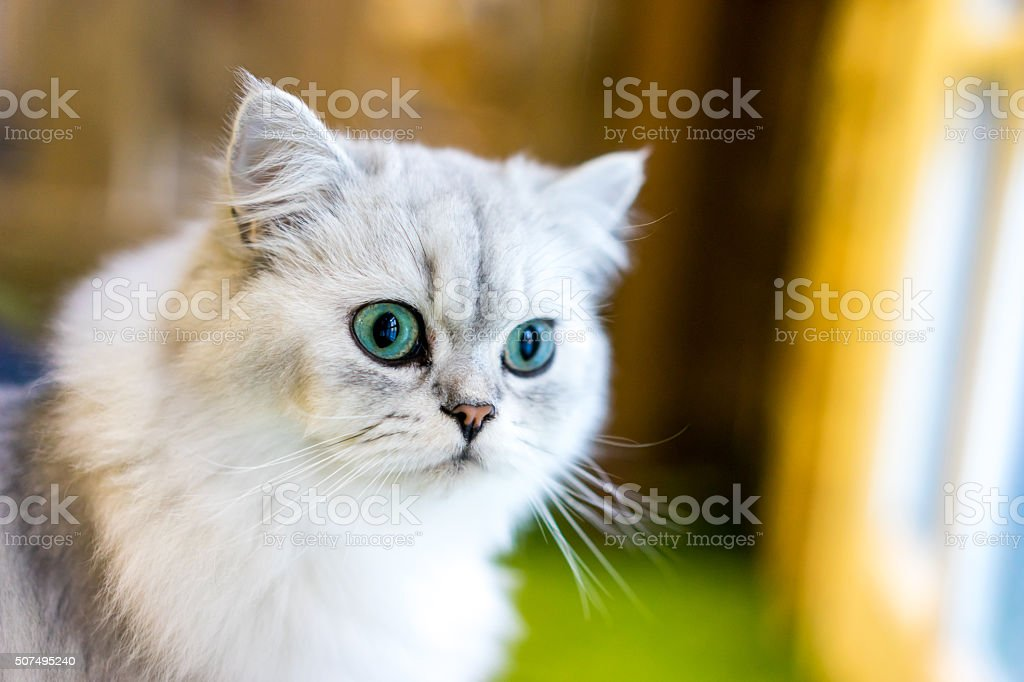 Persian cat sitting in the room stock photo