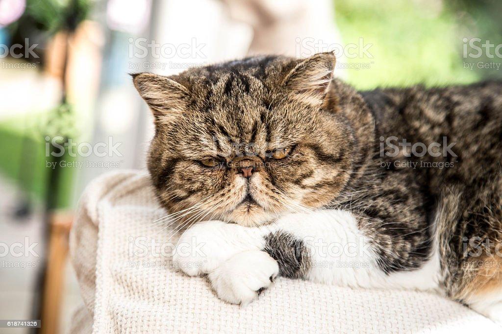 Persian Exotic cat in restful pose stock photo