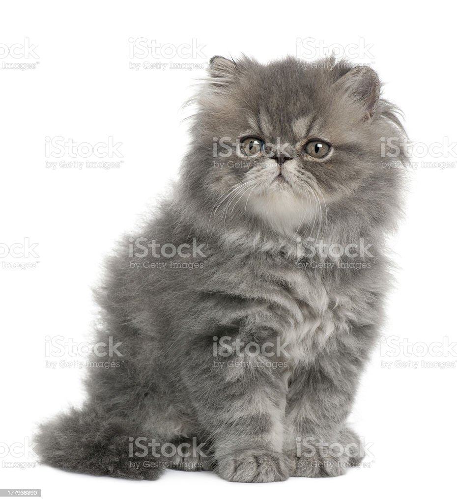 Persian kitten, 2 months old, sitting and looking away stock photo