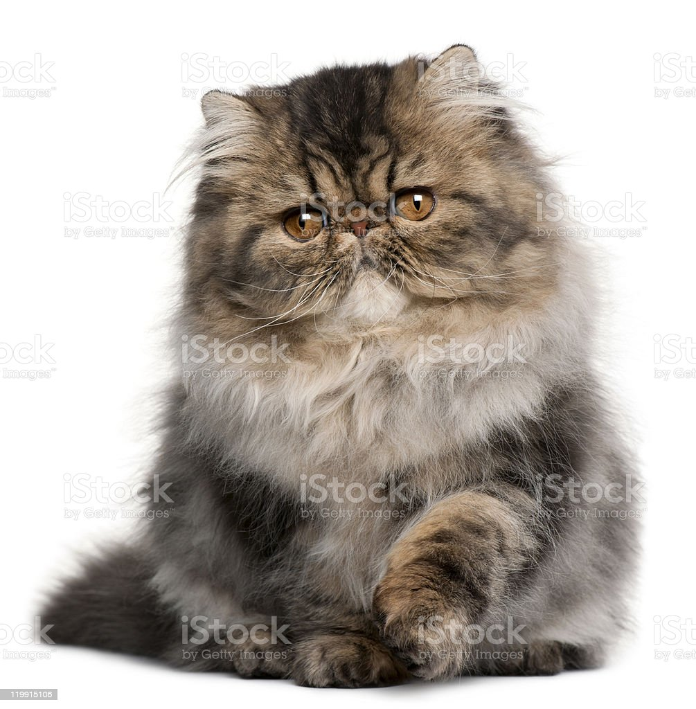Persian kitten, 4 months old, sitting, white background. stock photo