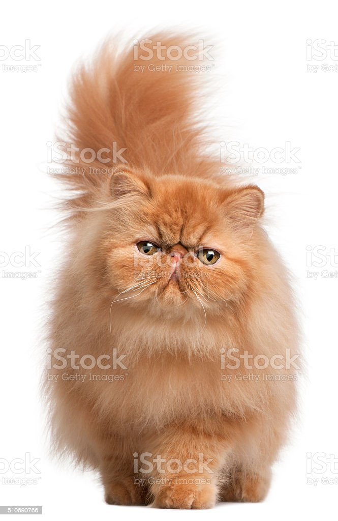 Persian kitten, 6 months old, in front of white background stock photo