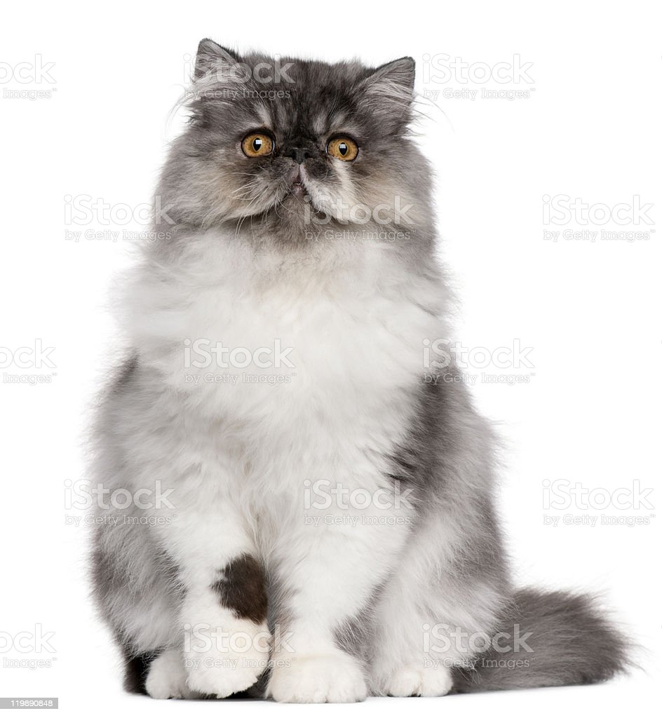 Persian kitten, 6 months old, sitting, white background. stock photo