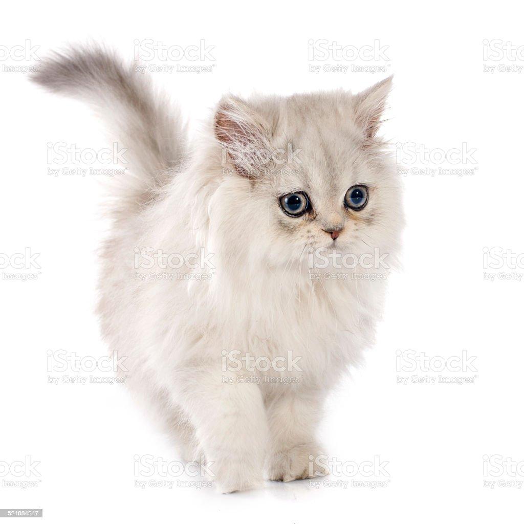 persian kitten stock photo