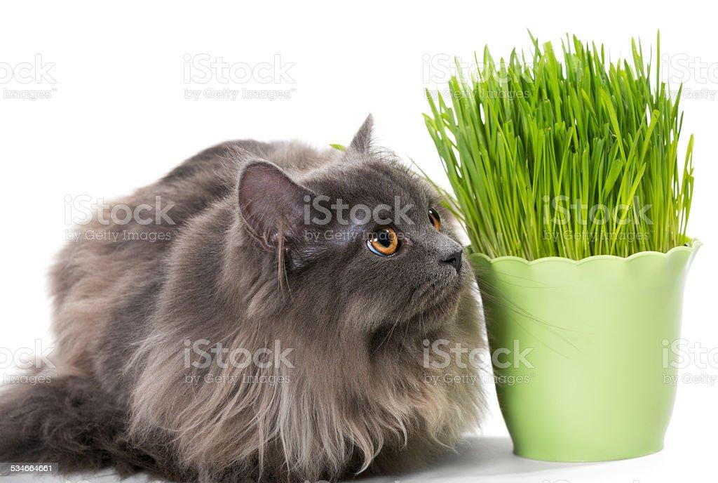 Persian kitten sits near grass stock photo