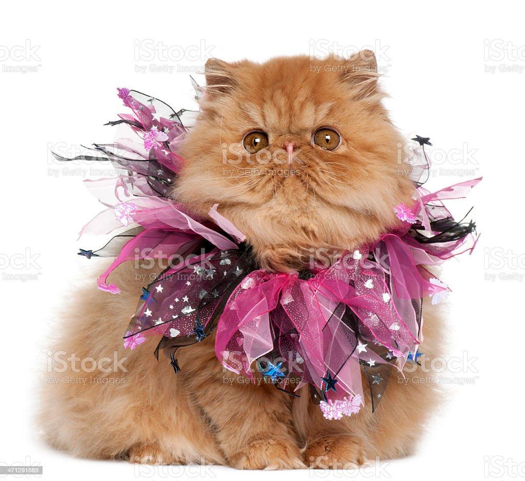 Persian kitten wearing pink ribbons, sitting, white background. stock photo