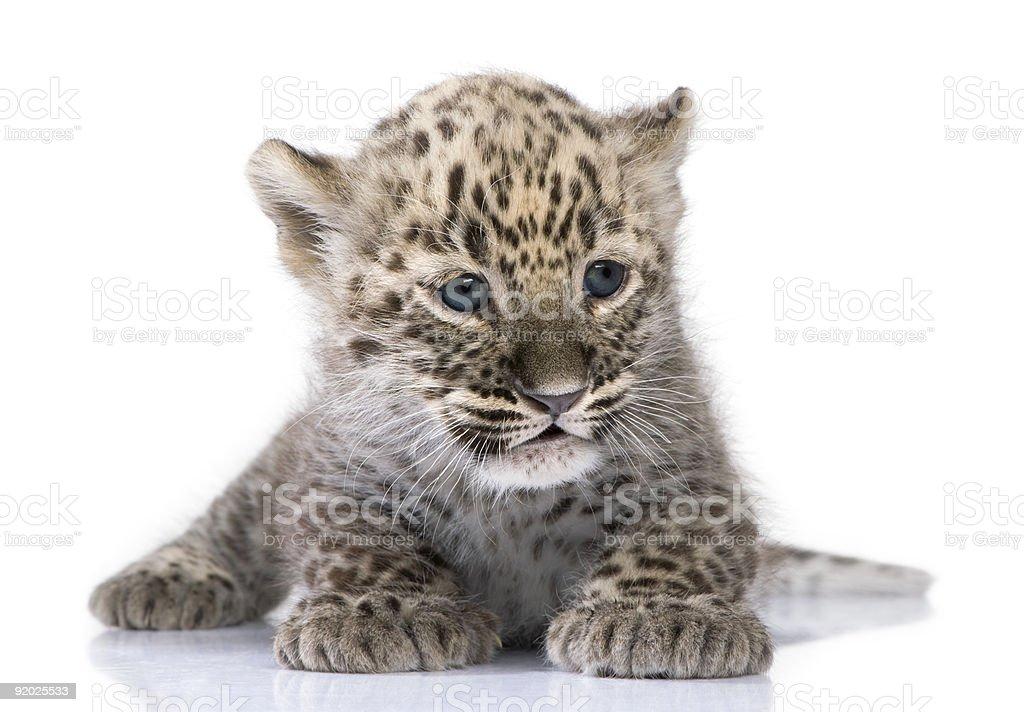 Persian leopard Cub (6 weeks) stock photo