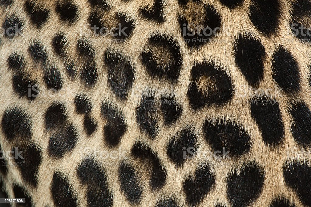 Persian leopard (Panthera pardus saxicolor). Fur texture. stock photo