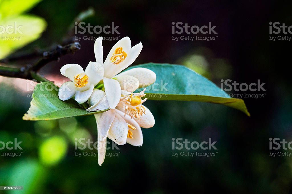 Persian lime tree in bloom stock photo