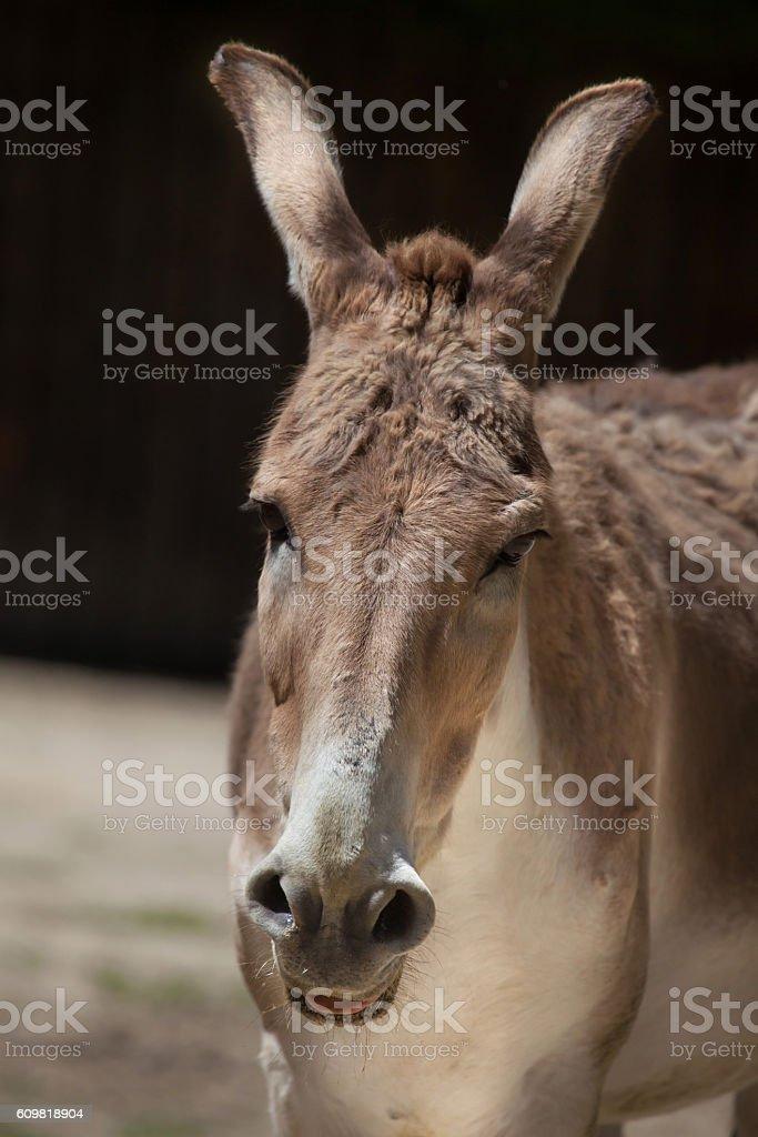 Persian onager (Equus hemionus onager). stock photo
