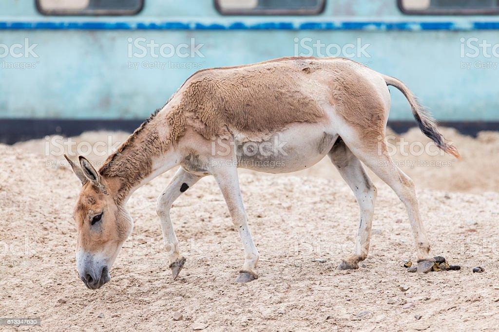 Persian onager (Equus hemionus onager) stock photo