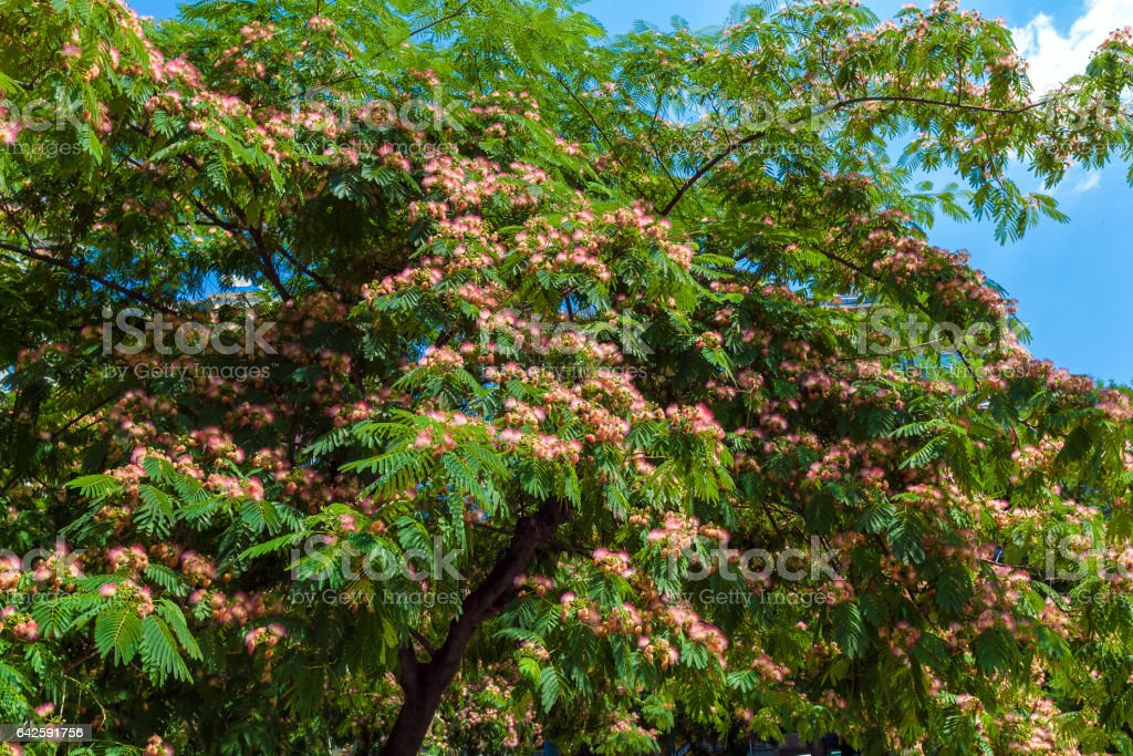 Persian silk tree (Albizia julibrissin) flowers stock photo