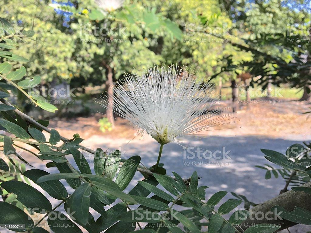 Persian silk tree (Albizia julibrissin) foliage and flowers stock photo