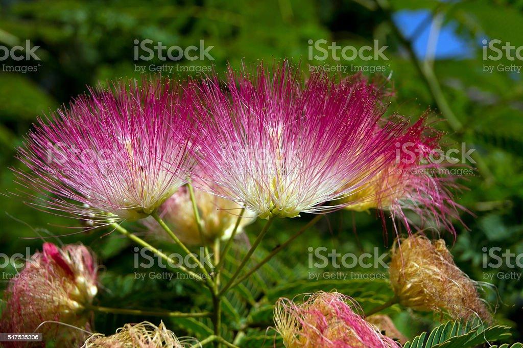 Persian silk tree (Albizia julibrissin) stock photo
