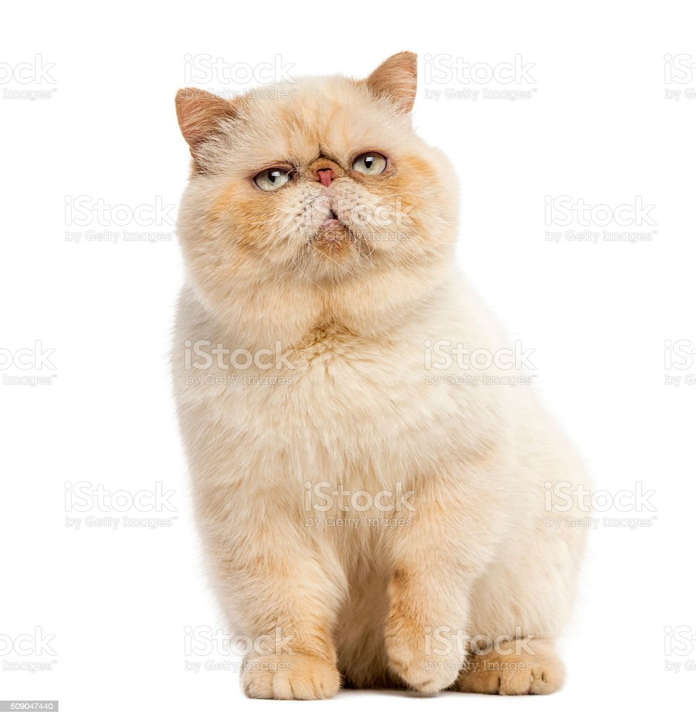 Persian sitting in front of a white background stock photo