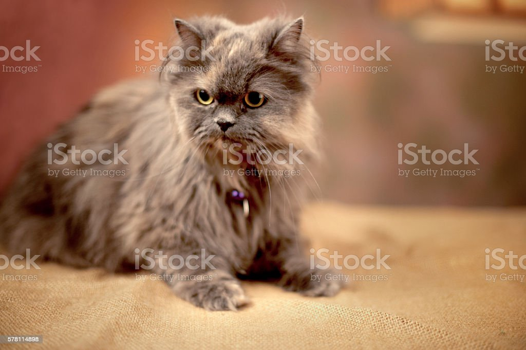 Persian tawny longhaired cat (pedigree) posing in a photographic studio stock photo