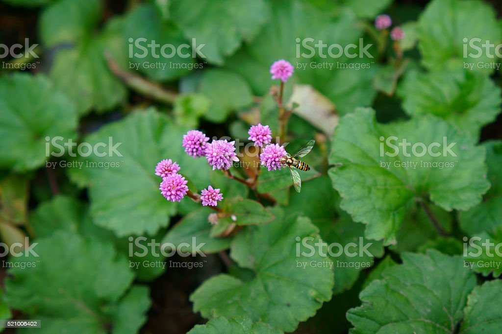 Persicaria Capitata and Flower Fly in Kamakura, Japan stock photo