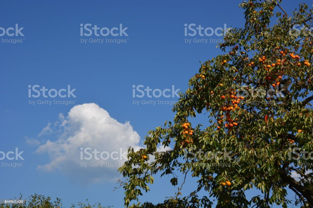 Persimmon and blue sky and white clouds stock photo