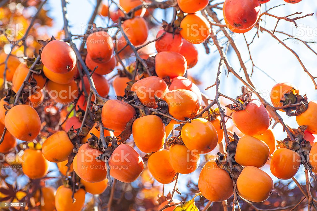 Persimmon fruit stock photo
