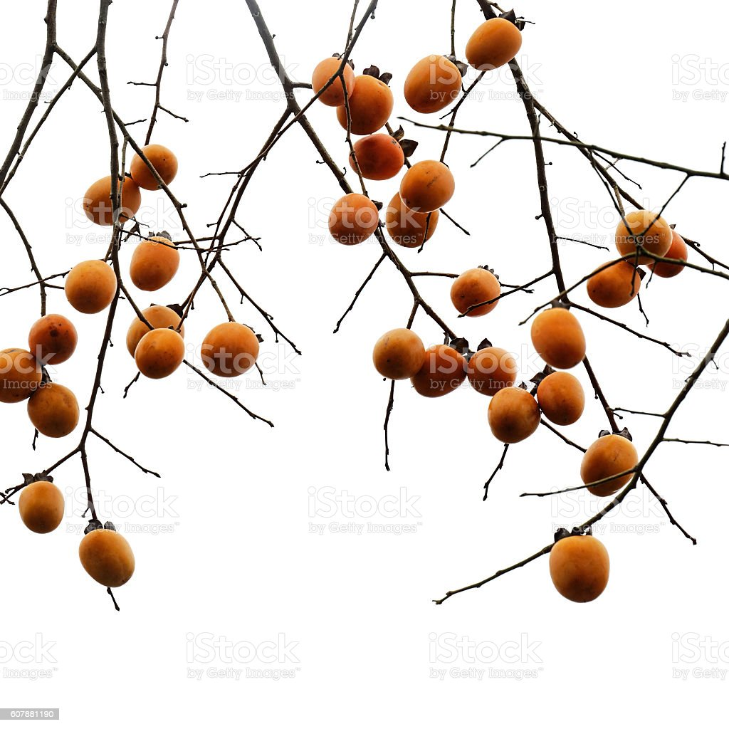 Persimmon fruits against white stock photo