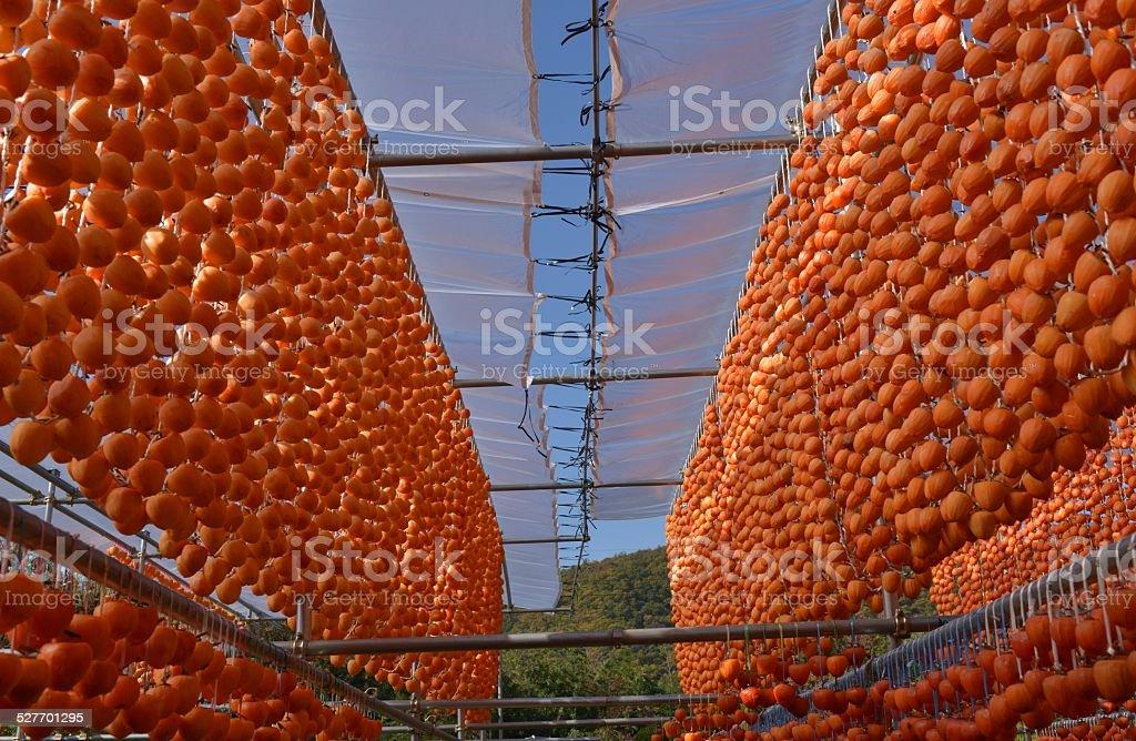 Persimmon Harvest Season stock photo