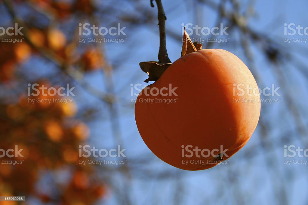 persimmon on the tree stock photo