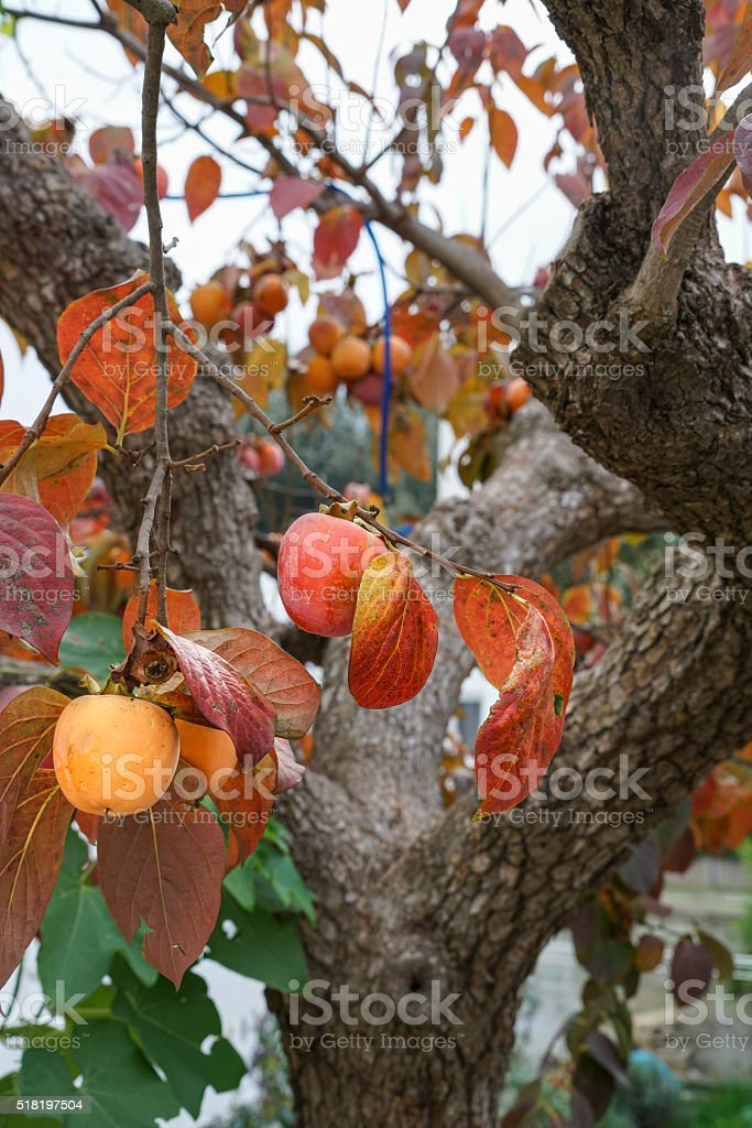 persimmon tree in autumn stock photo