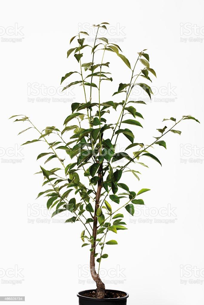 Persimmon tree in flower pot (Diospyros) stock photo