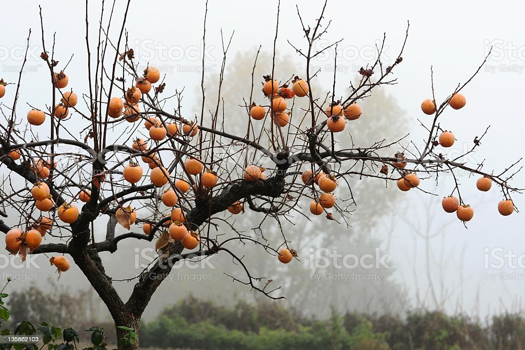 Persimmon tree stock photo