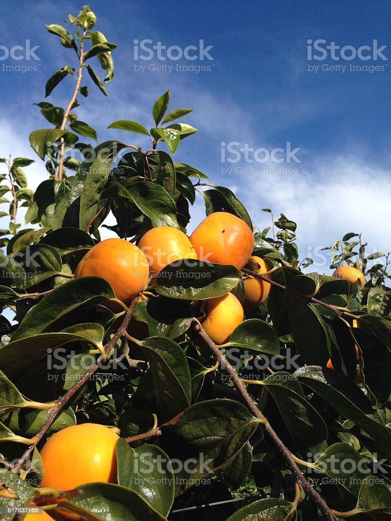Persimmon tree stock photo