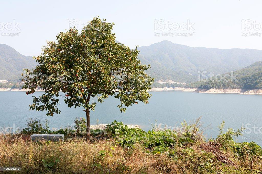 persimmon trees, stock photo