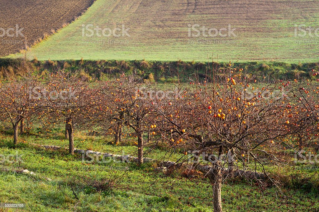 Persimmon Trees/Orchard in Winter, Sicily stock photo