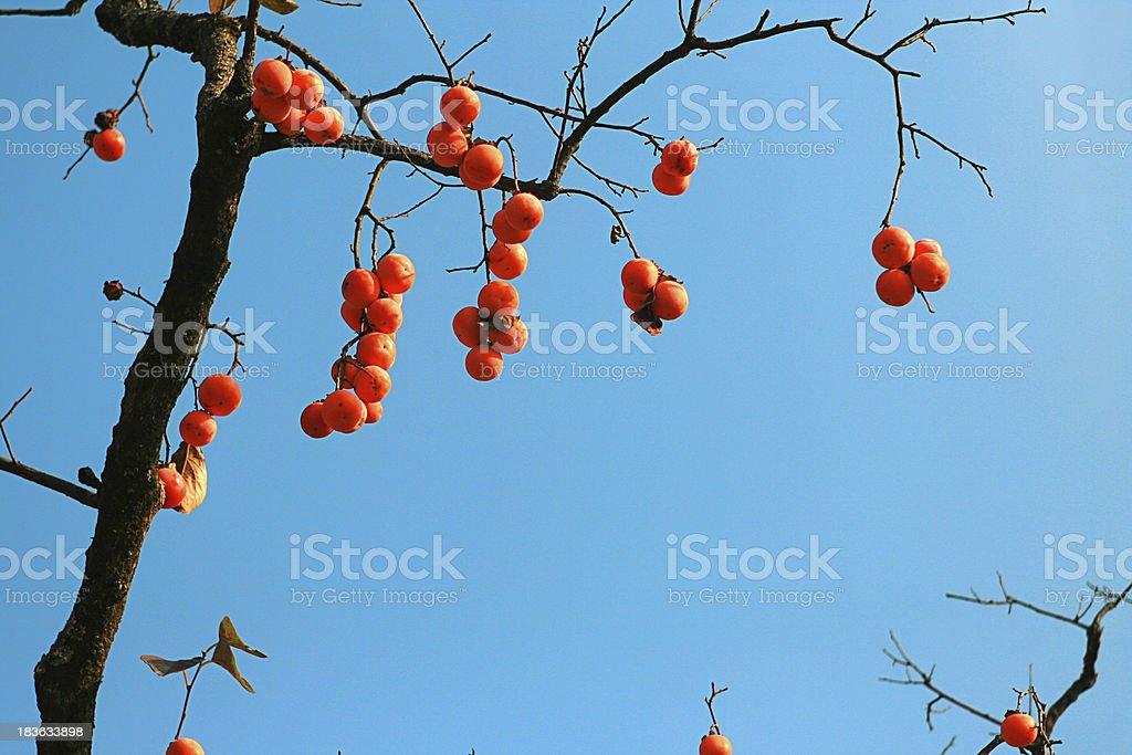 Persimmons hanging on a tree stock photo