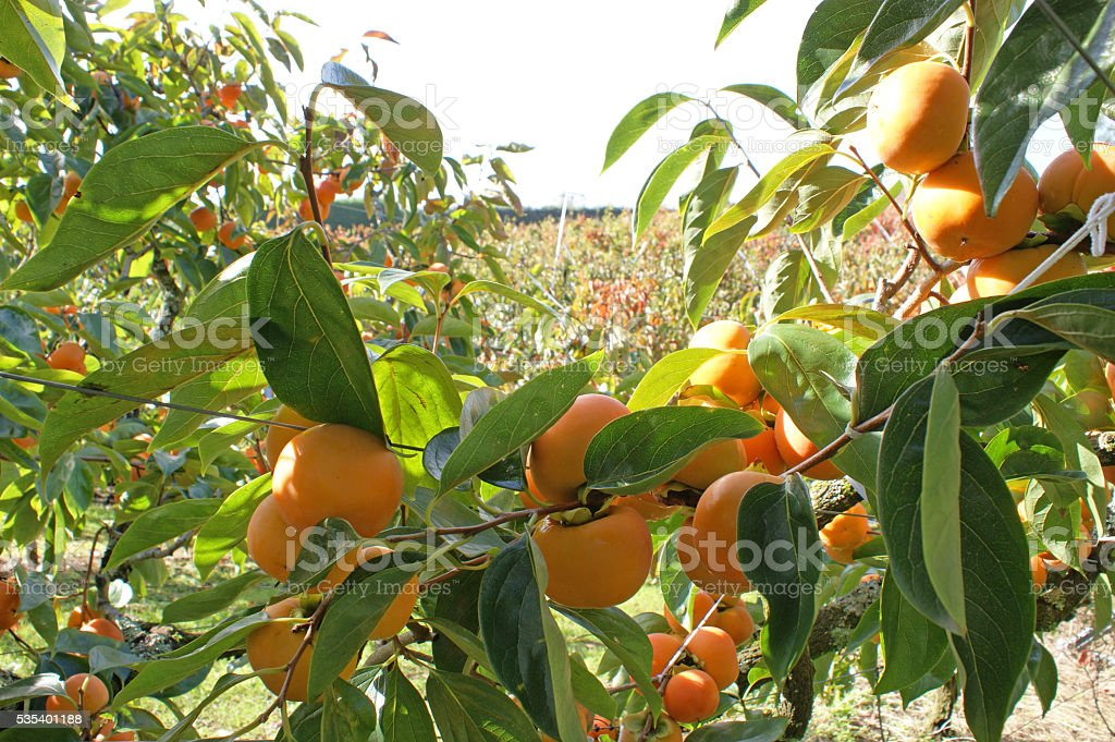 Persimmons in persimmon orchard on sunny day stock photo