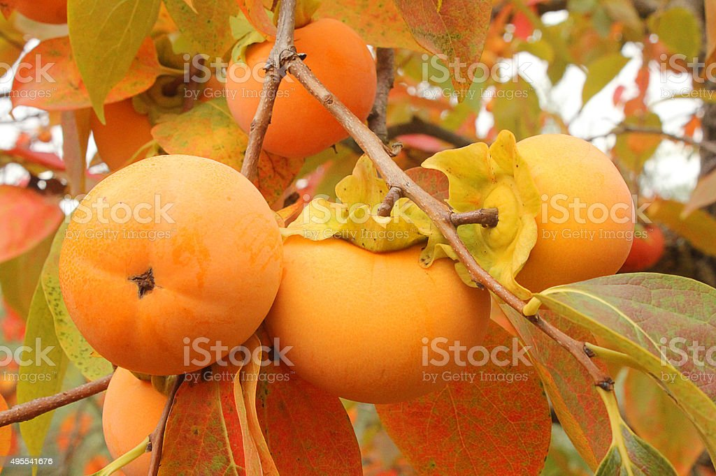 persimmons on the branch stock photo