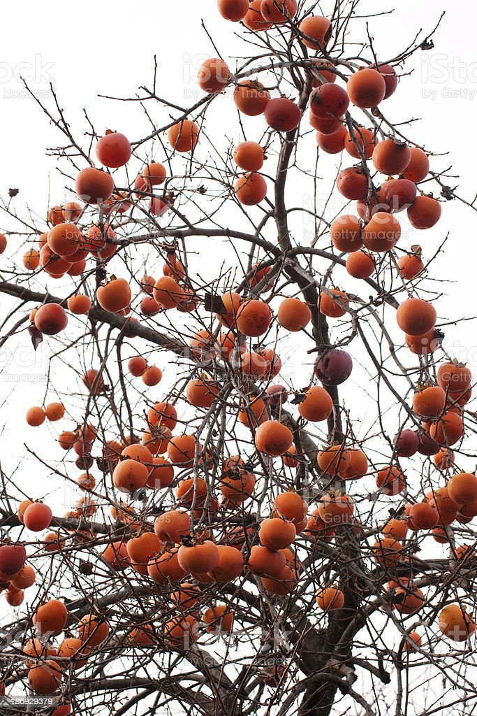 Persimmons on the tree stock photo