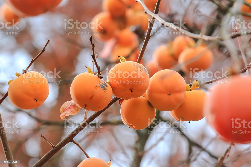 Persimmons on tree stock photo
