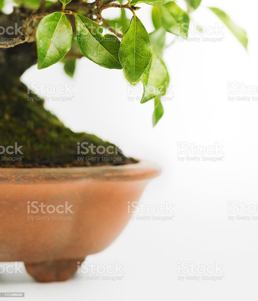 Persimon bonsai tree royalty-free stock photo