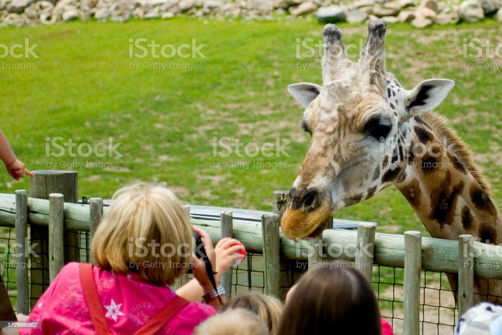 A person feeding a giraffe that is leaning over the fence  stock photo