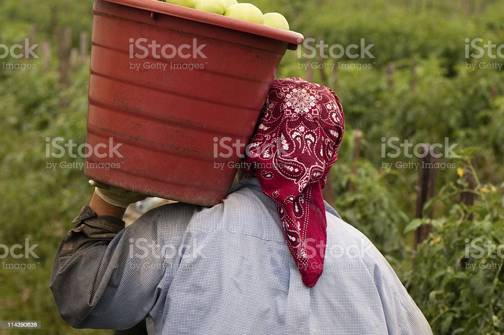Person from behind carrying bucket of tomatoes on shoulder stock photo