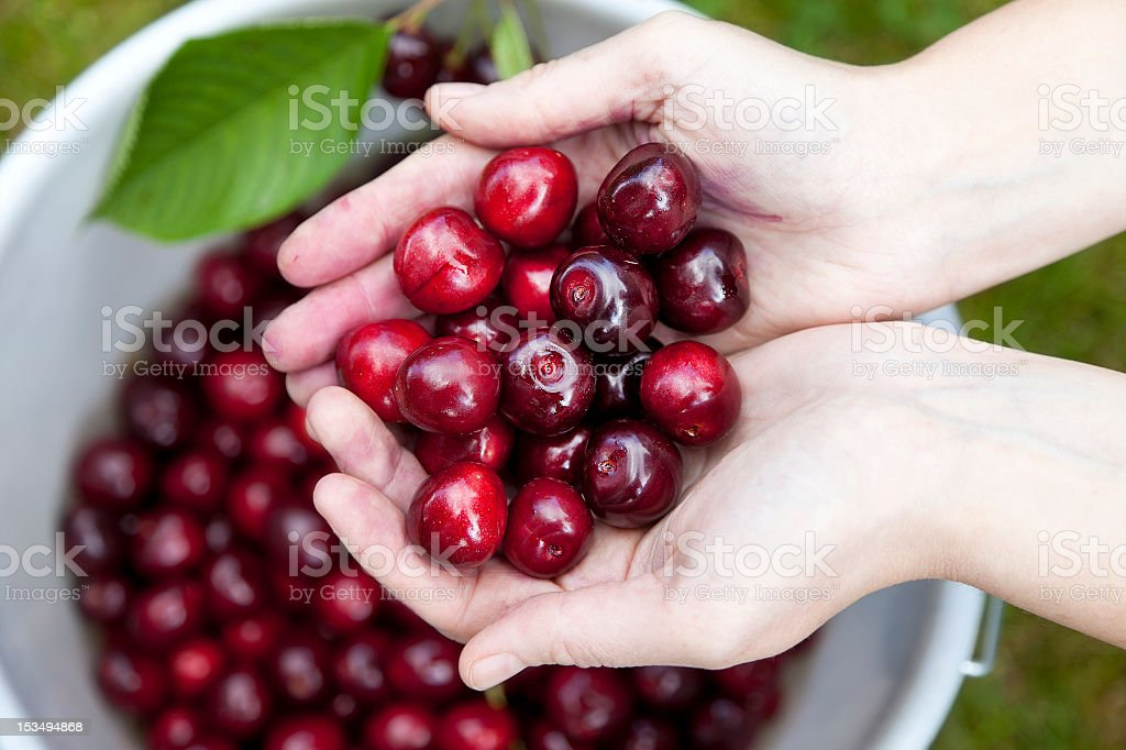 Person holding fresh picked organic cherries in her hand stock photo