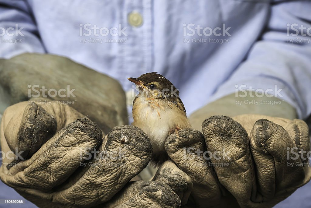 A person in old leather gloves holding a small bird stock photo