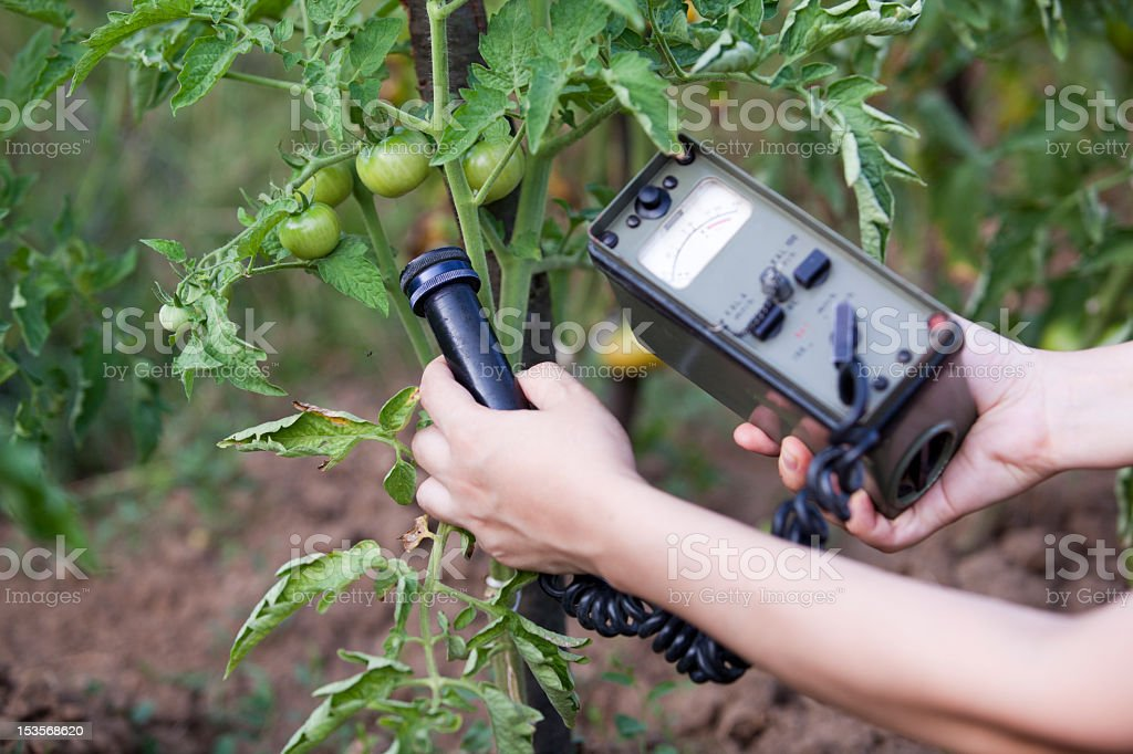 Person measuring radiation levels of growing tomatoes stock photo