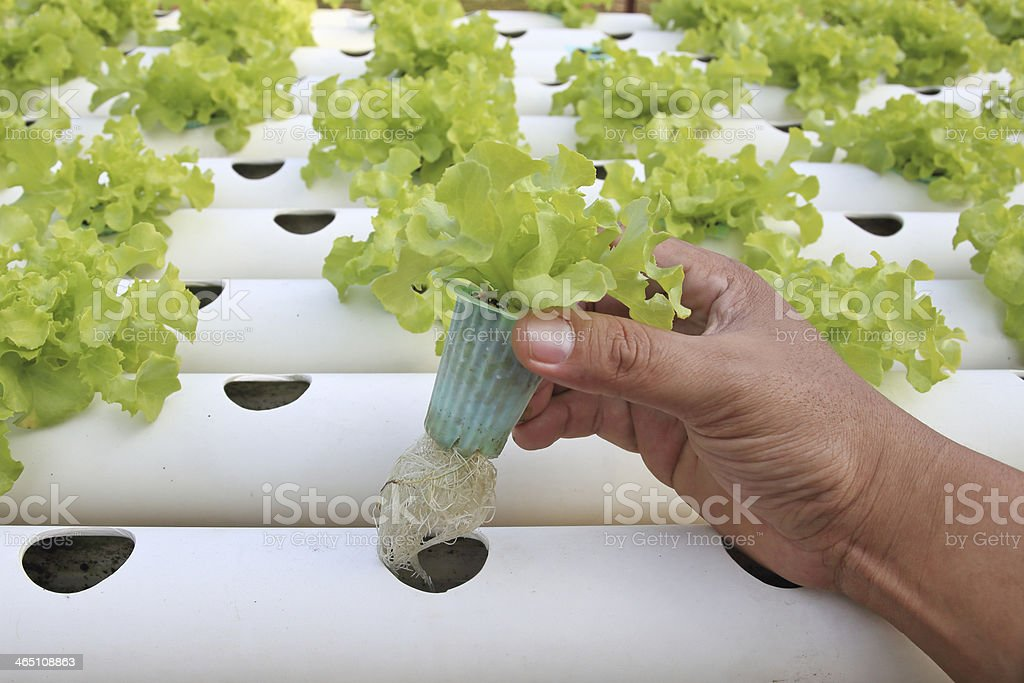 Person planting organic hydroponic vegetables stock photo