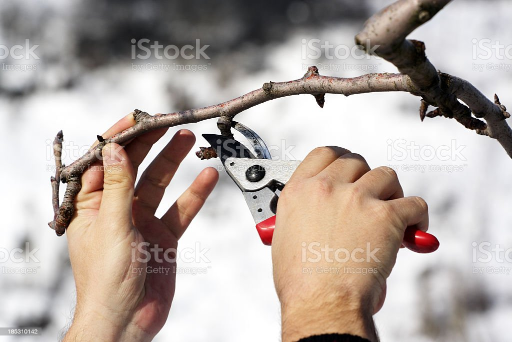 Person pruning a tree with red clippers stock photo