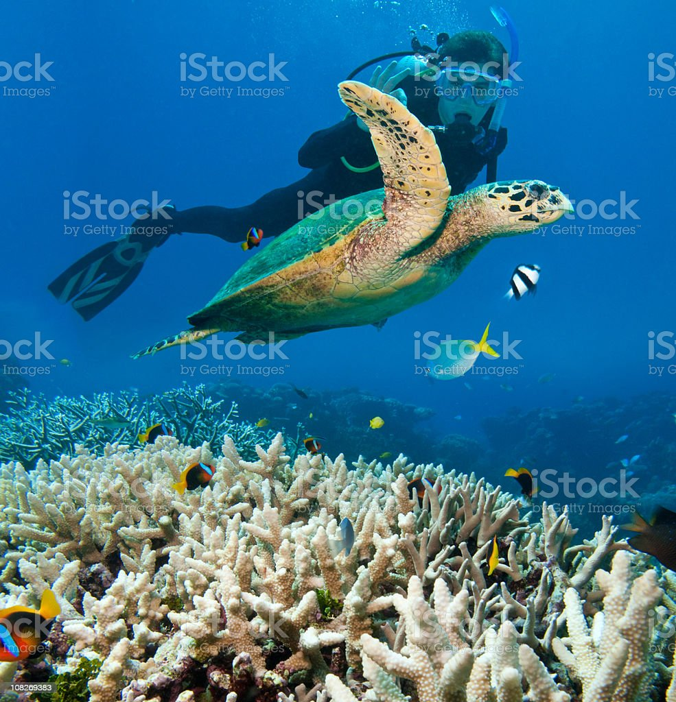Person Scuba Diving Near Sea Turtle, Great Barrier Reef stock photo