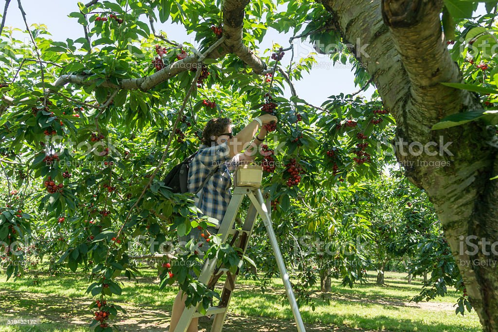 Person Up a Ladder Picking Cherries stock photo