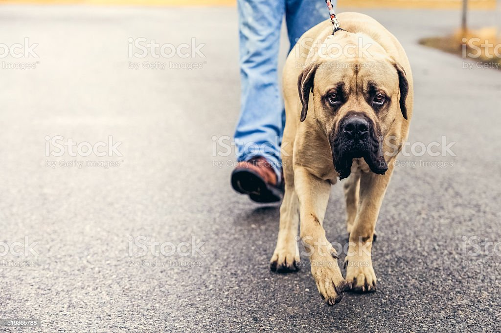 Person Walking English Mastiff Dog Outdoors stock photo
