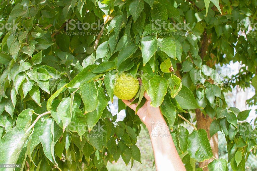 persona muestra el fruto del arbol en el jardin photo libre de droits